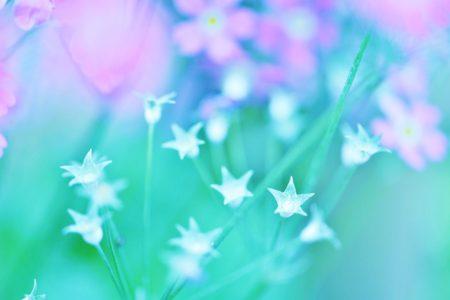 星降る夜の桜草