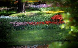 木陰に咲くチューリップ