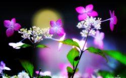 月夜と紫陽花