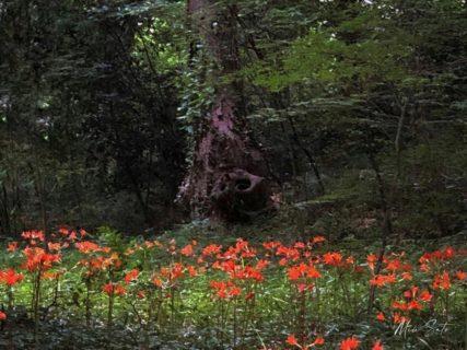 キツネノカミソリの森